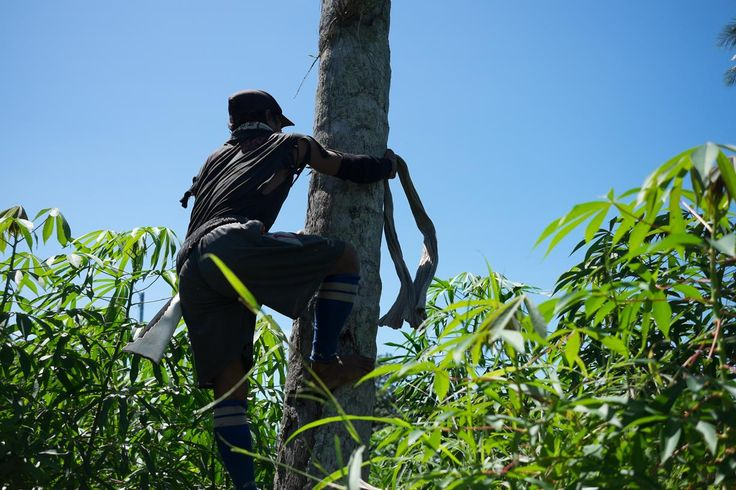 Worker climbing to collect coconuts