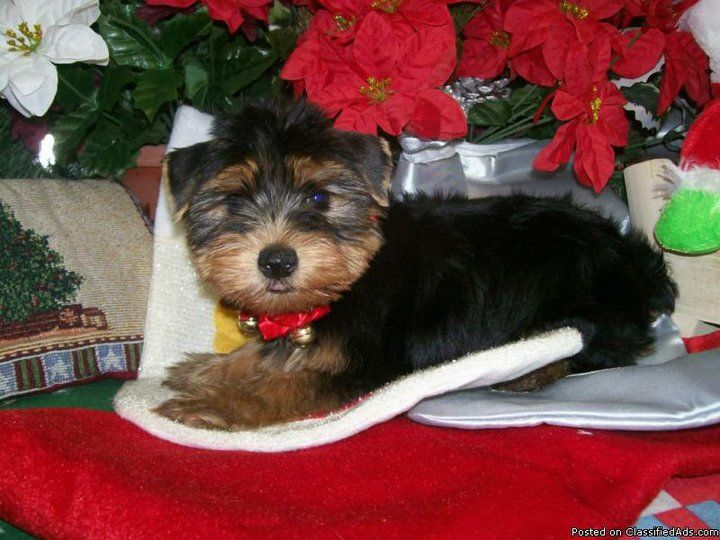 Yorkshire Terrier Puppy For Sale In Hammond In Adn 64409 On Puppyfinder Com Gender Femal Yorkshire Terrier Puppies Yorkshire Terrier Yorkshire Terrier Funny
