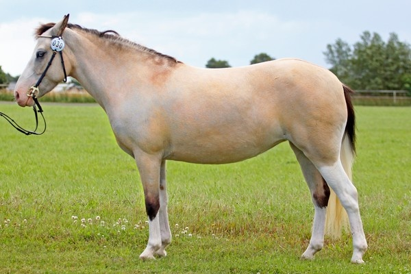 Gotland Pony - mare Ängdalas Spirello | Gotland Pony ... | 600 x 400 jpeg 92kB