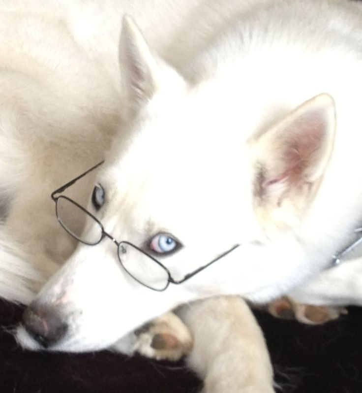 217 best Siberian Husky love images on Pinterest