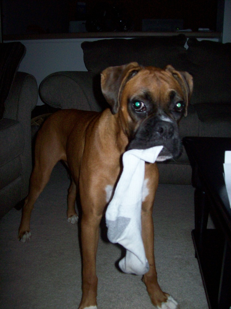 Can Boxers Be Trained As Service Dogs