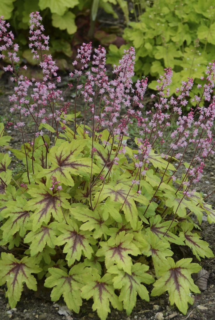 Flowers that bloom in shade - This Easy To Grow Perennial Is Prized For Its Attractive Foliage And Its Bubblegum
