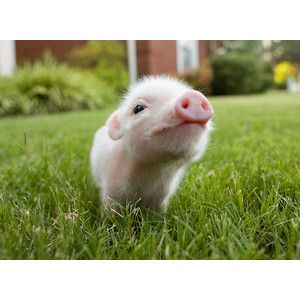 I would love a pet pig! Whether it was standard, miniature or tea cup size. I love piggies!