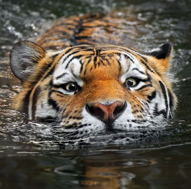 A great close up of a swimming bengal tiger! Awesome pic! crt