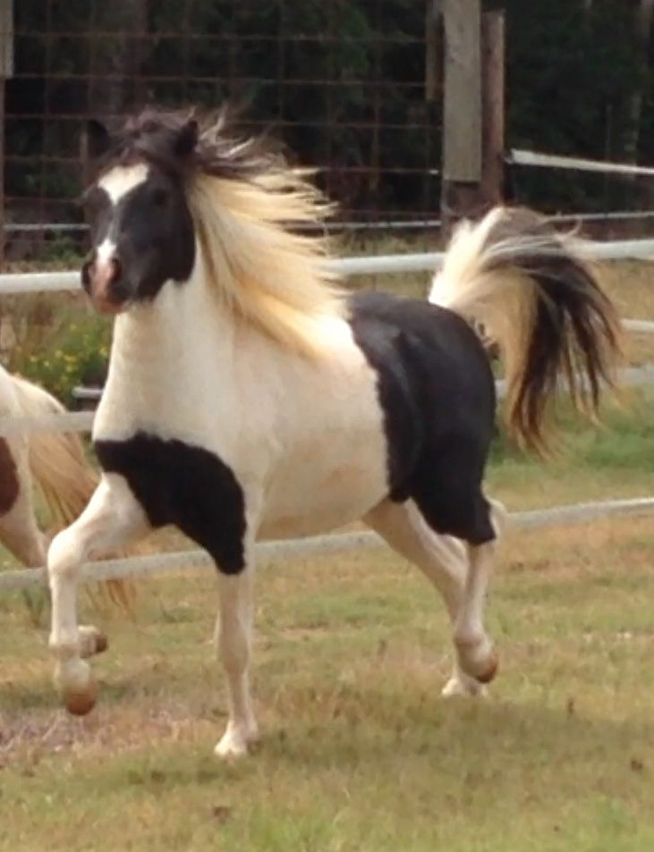Miniature horses for Sale - American Miniature Horse