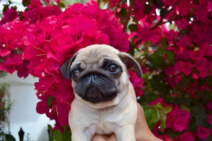 What a cutie!💝  #pugdaily #pugs #pug #cute #puglover