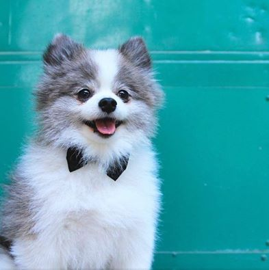 aww Blue merle and white parti pomeranian cute lil bow tie!
