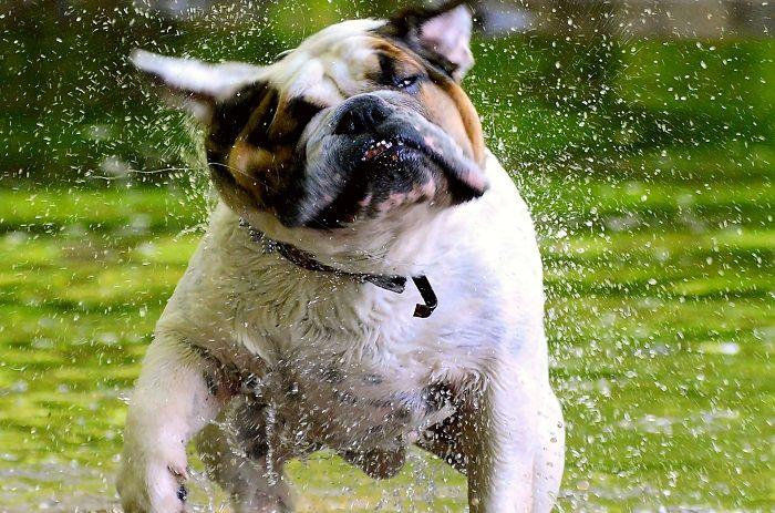 #CleanIngredients  Dermatite del cane: prurito e dermatite del bulldog inglese #dogs #cats
