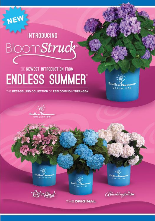 Bloom Struck Hydrangea is a remarkable Hydrangea bursting with blooms! A great addition to the Endless Summer Collection.