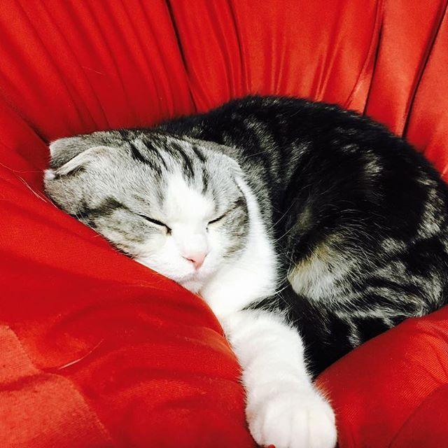 机の下で寝てたと思ったら、のそのそと現れ、ちゃっかり陣取るしらすさん。  #猫 #猫部  #愛猫  #スコティッシュフォールド  #今日も安定のかわいさ  #人をダメにするソファ  #猫もダメにするソファ