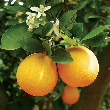 The Garden of Eaden: HOW TO GROW AN ORANGE TREE FROM SEED...looking forward to doing this...I have my seeds in the fridge right now!