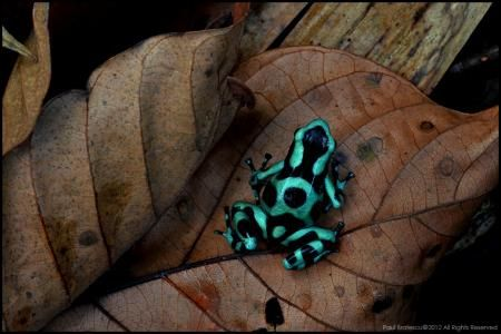 Loitering in the leaf litter, a beautiful poison dart frog stirs about. This is the green and black poison dart frog (Dendrobates aratus).