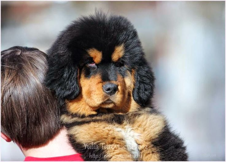 Дети диких животных: Тибетский Мастиф!