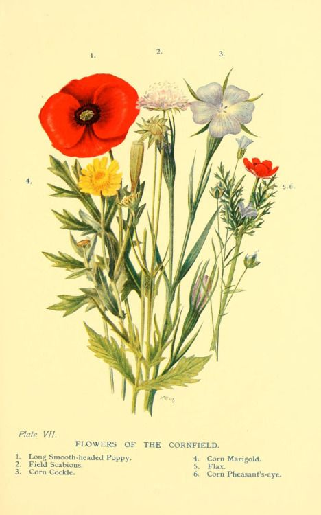 heaveninawildflower:  'Flowers of the Cornfield.' Plate from 'Flowers of the Woods.' by W. S. Furneaux.  (Long Smooth-headed Poppy, Field Scabious, Corn Cockle, Corn Marigold. Flax and Corn Pheasant's-eye).  Published 1909 by Longmans, Green, and Co archive.org