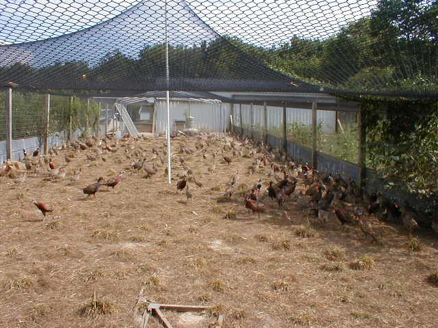 Pheasant in breeder 640 480 my hobbys for Building a quail house