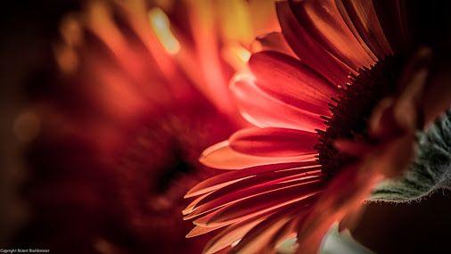 Gerbera Rost und Licht © Robert Buchkremer   Google+
