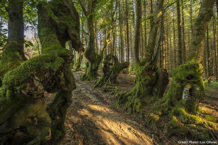 Les hêtres tortueux de l'allée des géants près de Saint-Nicolas-des-Biefs (Allier)
