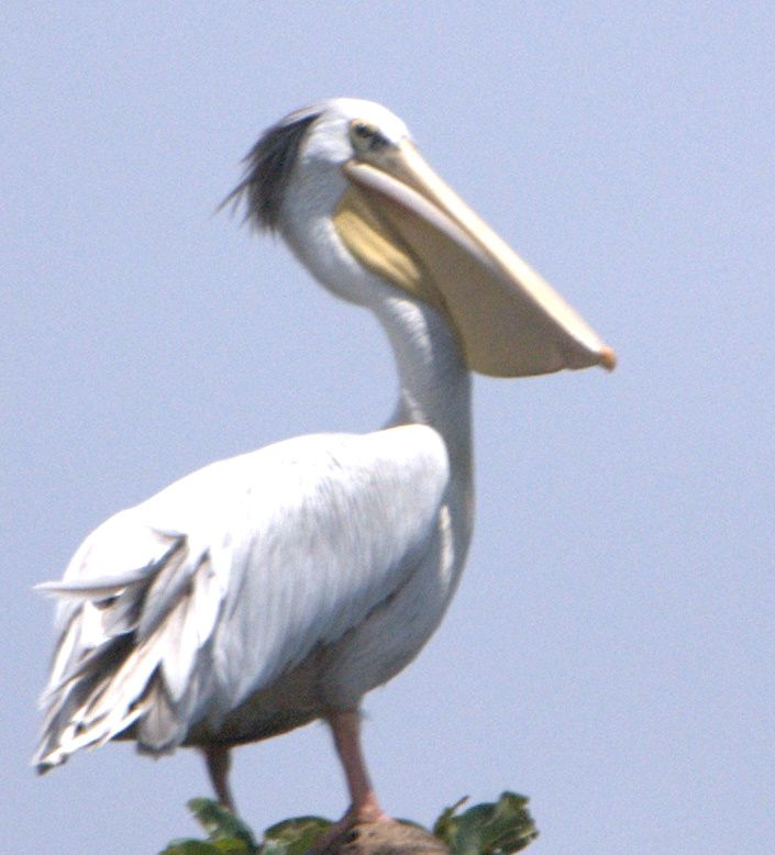 I just love pelicans - don't know why ...