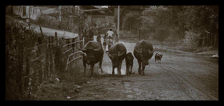 Buffalos on a laotian street - Singsamphan, Champasak
