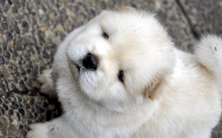 Chow Chow, dogs, pets, puppy, white chow chow