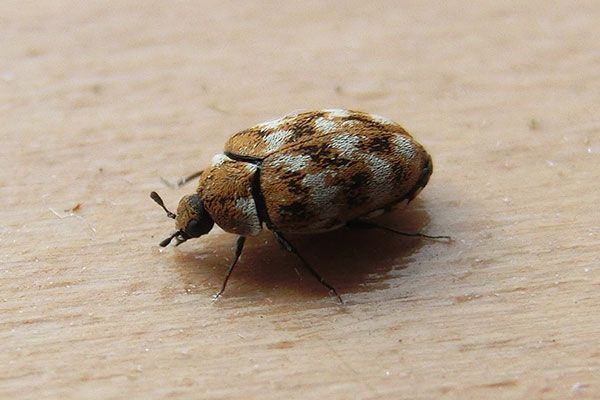 Preventing Practical Carpet Beetle Infestations Household Pests