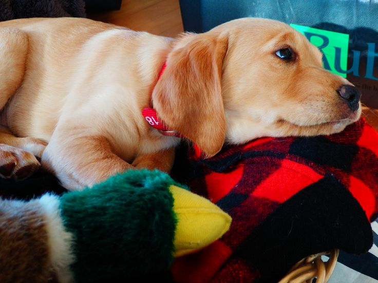 Labraspoodle Mischa Cute Puppy