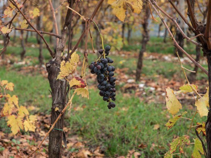#Autumn in Conca d'Oro #vineyard #Valpolicella ©2014 @ivanomercanzin Photography #Tommasi  - Sant'Ambrogio di Valpolicella