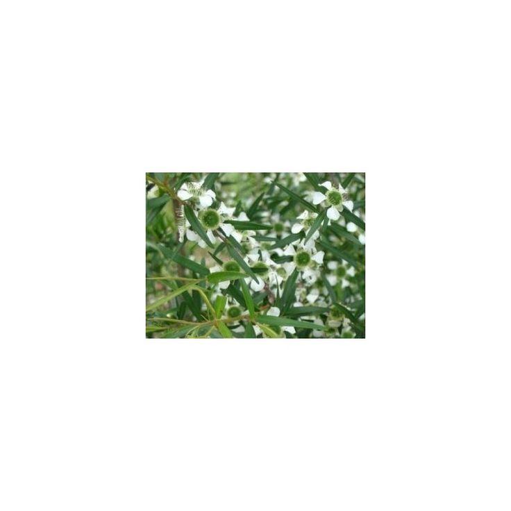 Tea tree- Čajovník- Leptospermum rotundifolium- semená- 30 ks