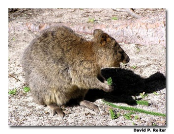 Quokka aka Rot, Rottnest Island off Fremantle, Australia