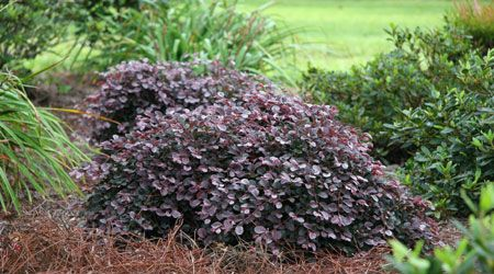 PURPLE PIXIE™ is a dwarf, weeping ground cover Loropetalum with rich purple foliage