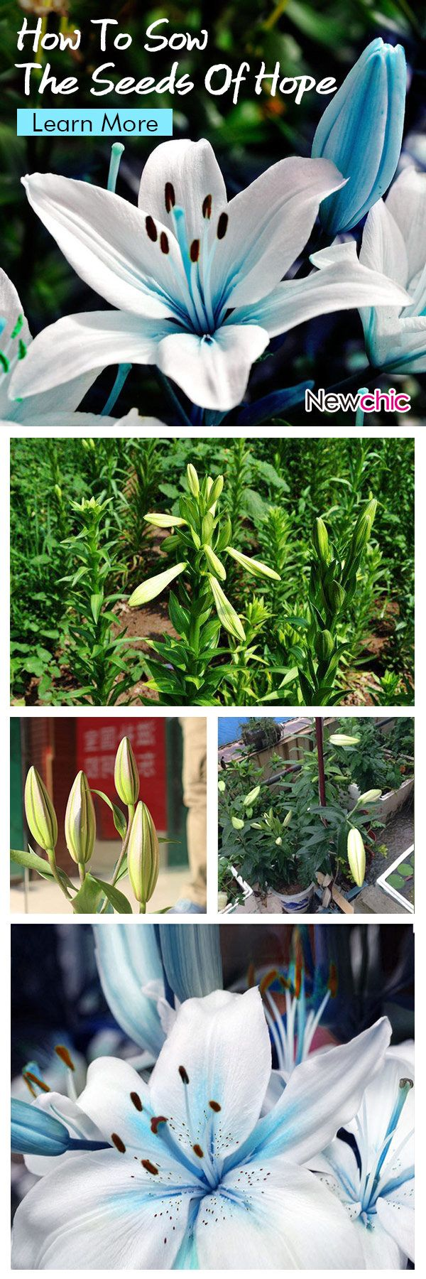 What  to grow  in the garden ?--50Pcs Blue Heart Lily Seeds Potted Plant Bonsai Lily Flower Seeds For Home Garden#newchic#garden#flowers#spring
