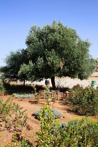 Argan tree, by Essaouira, Morocco -