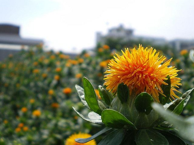 What is Safflower Oil Made From: Get to Know Different Types of Safflower Oil
