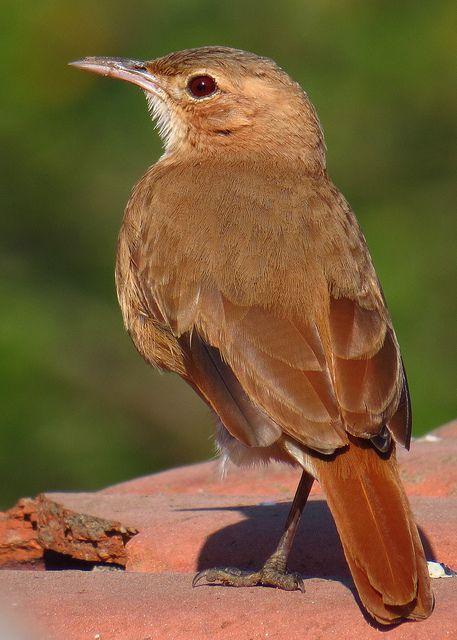 Foto joão-de-barro (Furnarius rufus) por Negretti | Wiki Aves - A Enciclopédia das Aves do Brasil