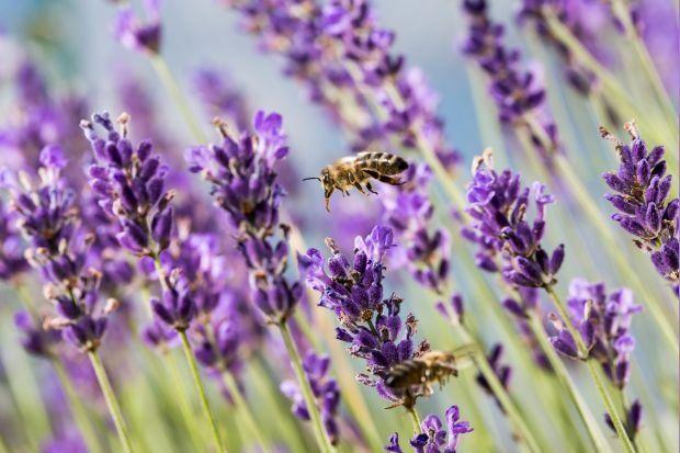 Lawenda Waskolistna Idealna Na Mocne Slonce Growing Lavender Purple Flowers Lavender