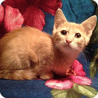 Cherry Hill, NJ - Domestic Mediumhair. Meet Pickles, a kitten for adoption. http://www.adoptapet.com/pet/17092559-cherry-hill-new-jersey-kitten
