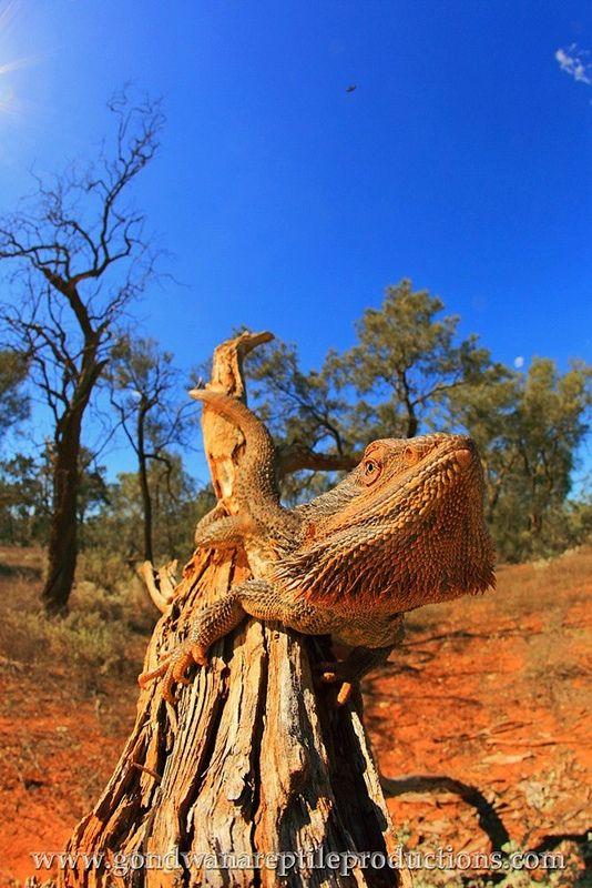 Central Bearded Dragon (Pogona vitticeps) | Flickr - Photo Sharing!