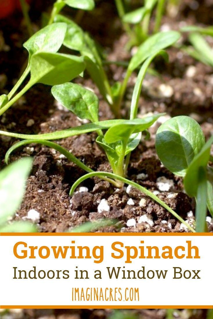 How To Grow A Window Box Vegetable Garden Growing Spinach