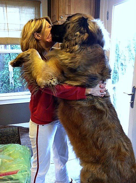 170 pounds of Leonberger love.
