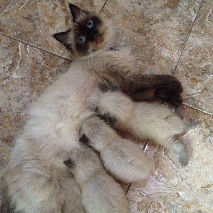 #himalaya #thecat #cat #pet #kitten #mom