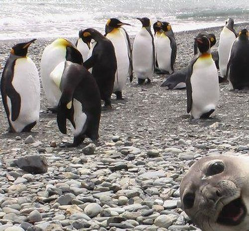 Who dat?King Penguins, Photos Bombs,  Aptenodyt Patagonica, Sea Lion, Funny Stuff, Funny Animal, Seals Photobomb, Animal Photos, Sealion