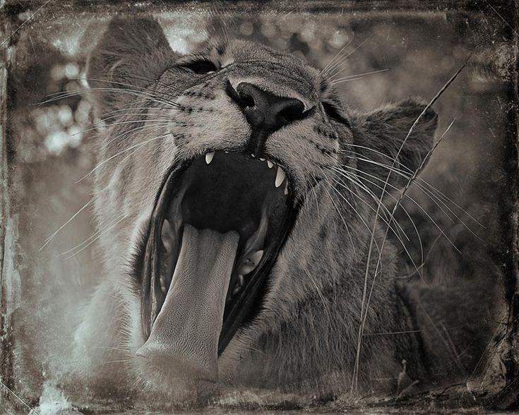 Best Animaux Images On Pinterest Wild Animals Animal - Captivating black and white animal portraits by antti viitala