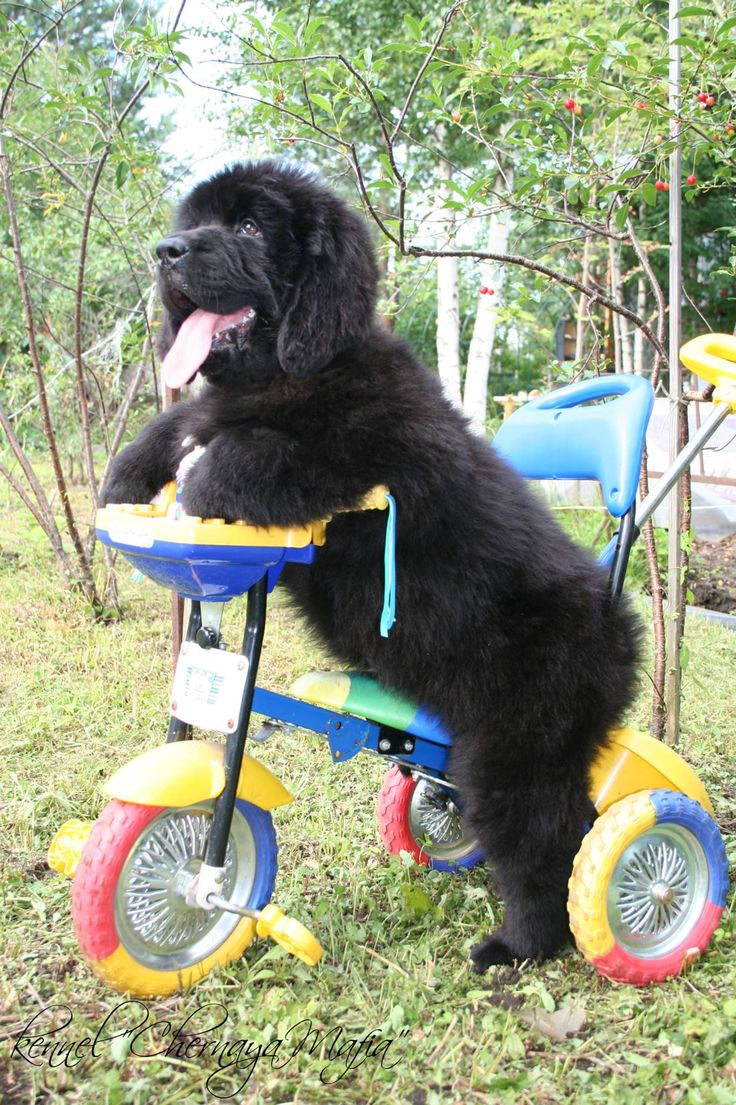 That Briard has nothing on me! I can ride a tric!
