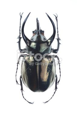 Big horned beetle(Chalcosoma atlas) Royalty Free Stock Photo