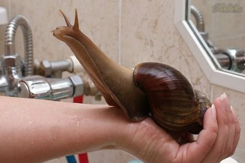 East African Giant Land Snail Trail. Ooough!