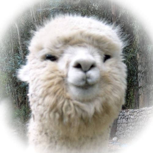 42 Best Alpacas Images On Pinterest  Farm Animals, Fluffy -5192
