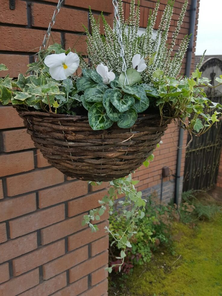 My new winter hanging basket: ivy, carex, white pansies, cineraria, cyclamen, white heather.