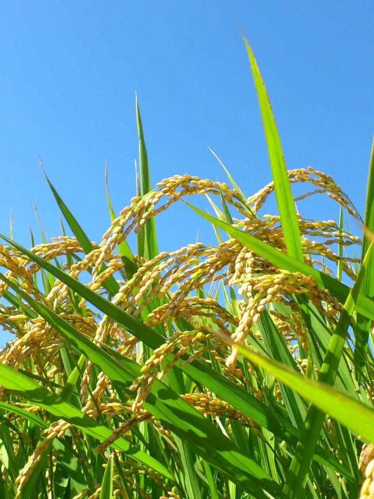 Paddy rice 稲穂