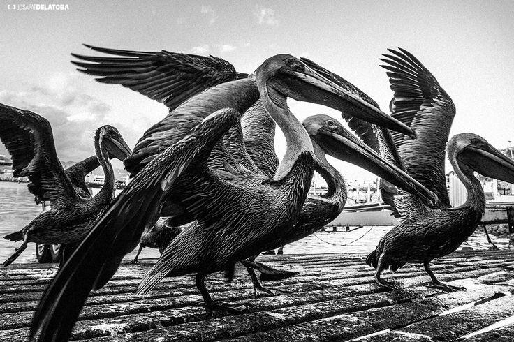 Pelican family  #josafatdelatoba #cabophotographer #loscabos #cabosanlucas #bajacaliforniasur #pelican #sea #birds