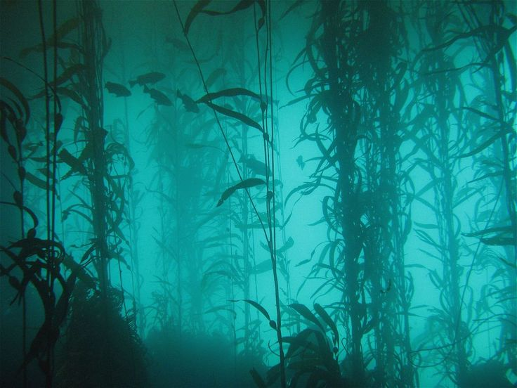 The kelp is a really big seaweed that grows in giant underwater forest. This is the first time I hear about it. I find this fascinating... I can't stop looking at this picture. Underwater forest... wow.